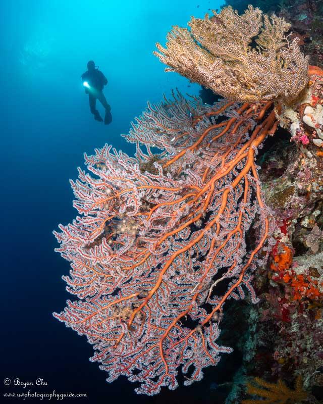 Gorgonian sea fan on Pangangan Wall. Underwater photo.