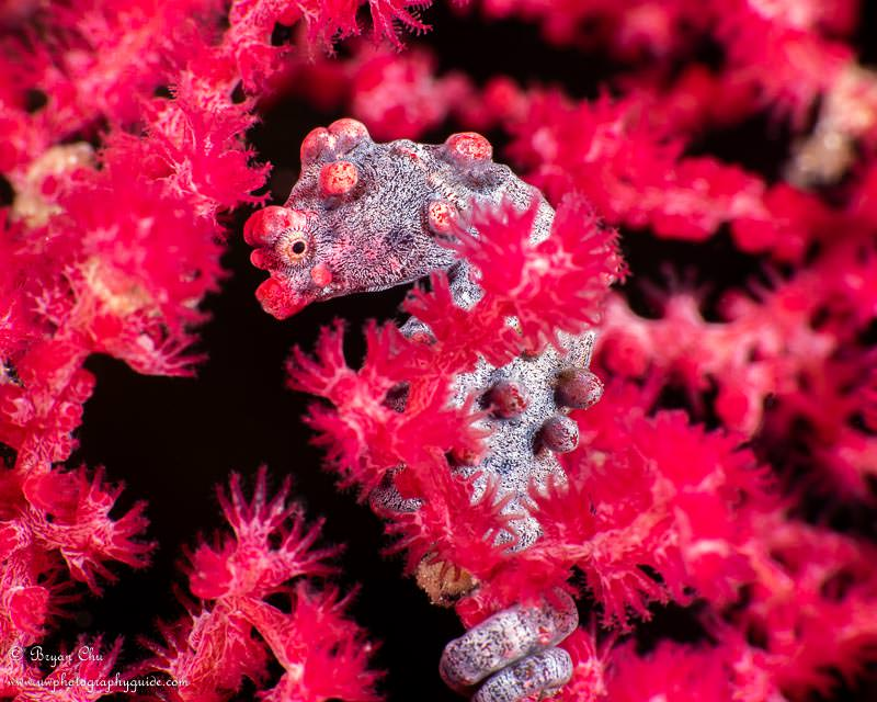 Bargibanti pygmy seahorse in a sea fan
