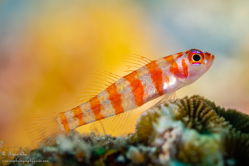 Striped goby on coral