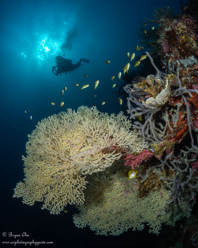 Diver, sunball and gorgonian sea fan on South Point Wall