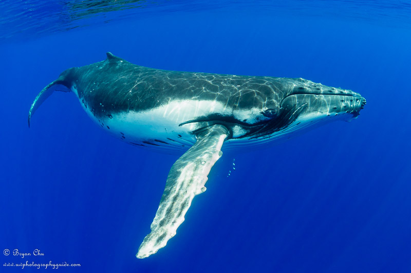 Juvenile humpback whale photographed underwater using shutter priority mode.