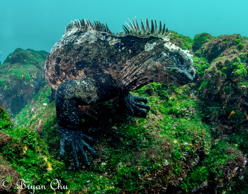 Marine iguana photographed using aperture priority mode.