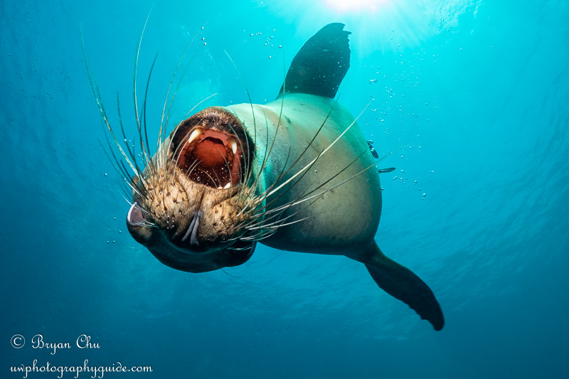 California sea lion with open mouth.