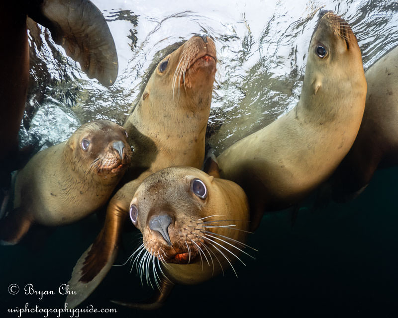 Group of steller sea lions photographed at the surface, Hornby, BC.