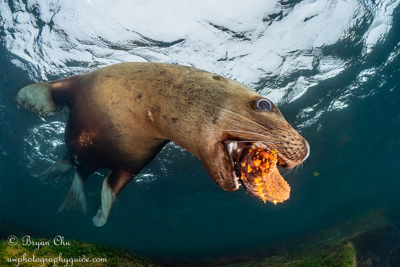 Steller sea lion with sea cucumber in its mouth.