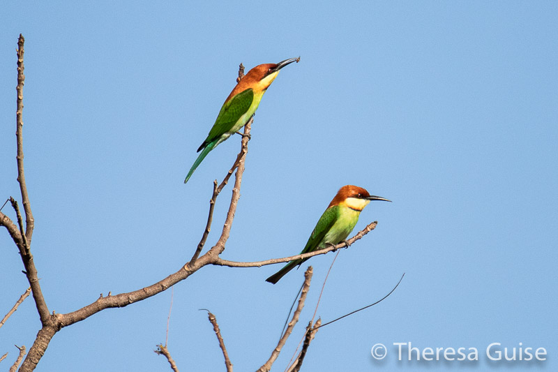 Bee Eaters in Sri Lanka by Theresa Guise