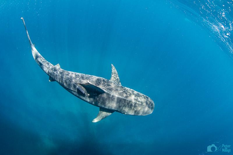 ESA Satellite Tag deployed on tiger shark