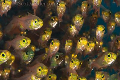 Schooling glassfish underwater, bali