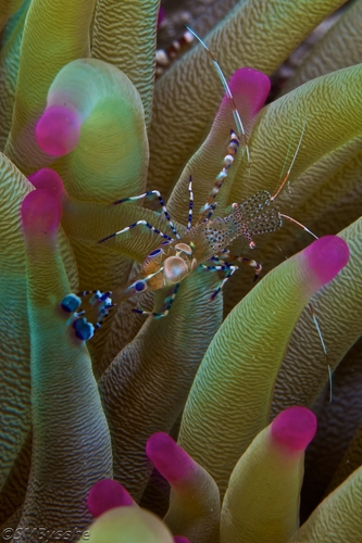 2-Shrimp-and-Anemone.jpg