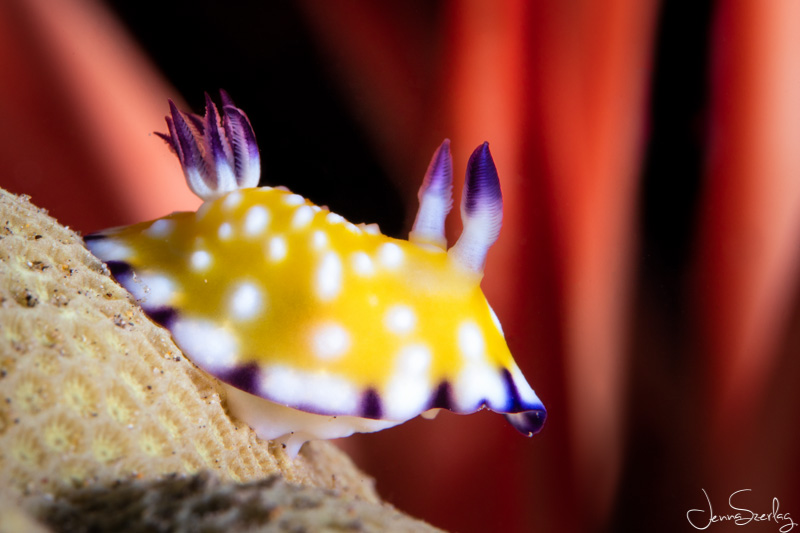Macro image of a tiny Trembling Nudibranch. Maui, Hawaii