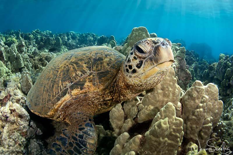 Hawaiian Green Sea Turtle. Nikon D780 f/13, 1/125, ISO 200 Photo by Jenna Szerlag