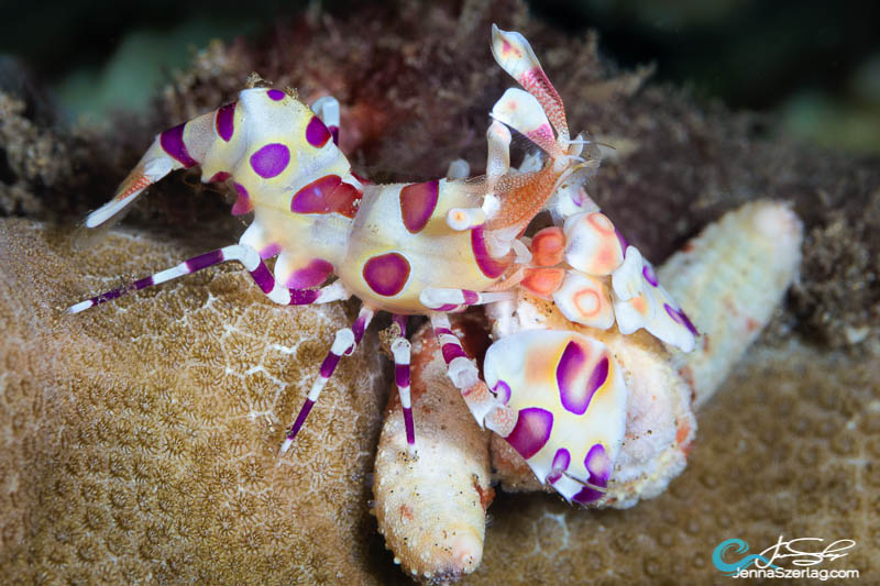 Harlequin Shrimp feeding on Linckia starfish Maui, HI Photo Jenna Szerlag