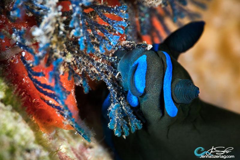 Tambja morosa feeding on blue bryozoan Canon 5DSr 100mm Lens ISO100 1/160 f/20 Maui, HI