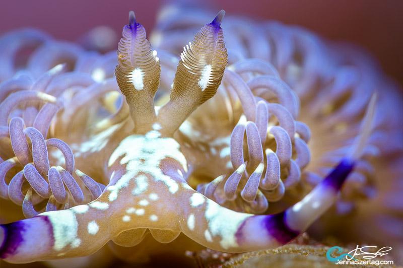 """Pteraeolidia semperi """"The Blue Dragon"""" with stinging cerata Canon 5DSr 100mm Lens ISO100 1/200 f/22 Molokini, Maui, HI"""