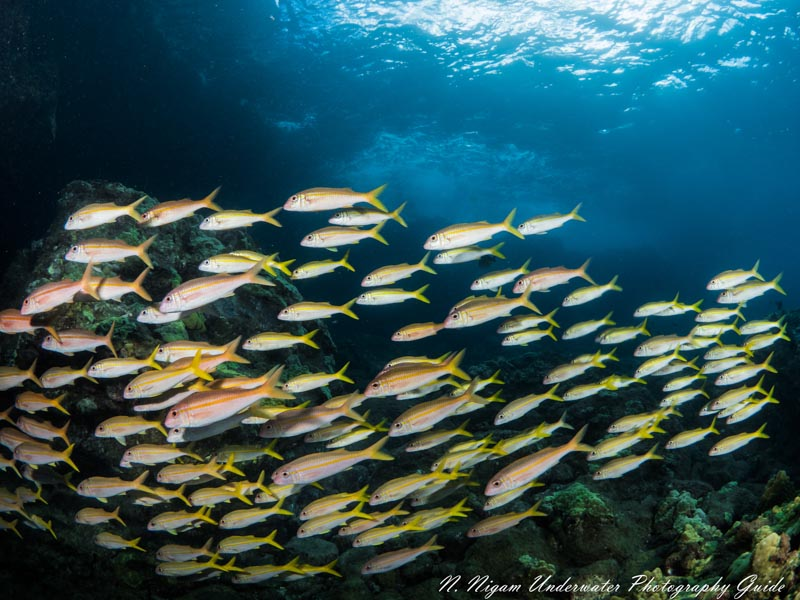 School of Goatfish, Maui Hawaii. Panasonic Lumix G 8mm f/3.5 Fisheye Lens, Ikelite Housing with dual Ikelite Strobes