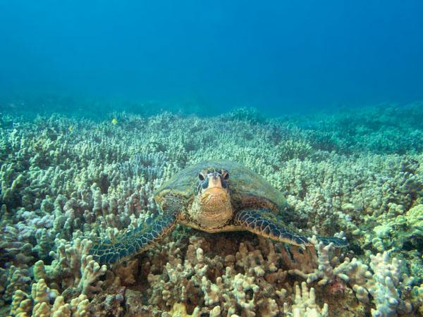 Hawaiian Green Sea Turtle taken with SeaLife Micro 3.0 and two Sea Dragon 2500 Lights
