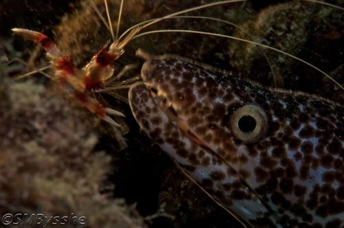 3-90-Banded-Coral-Shrimp.jpg