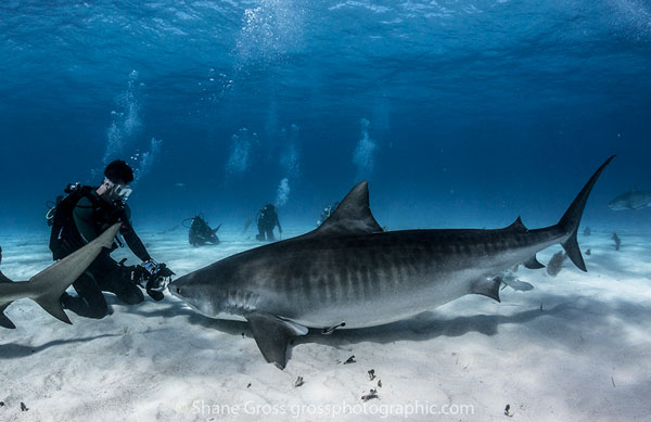 A Photographer Gets Some Close Up Tiger Shark Action Many Of The Sharks At Beach Have Overcome Their Shyness Towards Divers Making Shots
