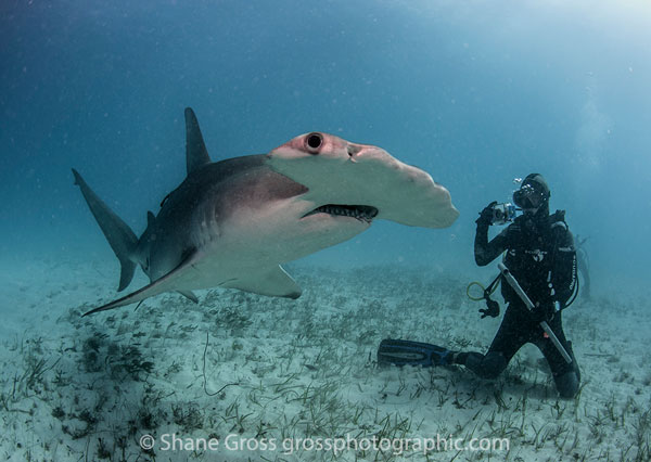Bimini Hammerhead Shark and scuba diver
