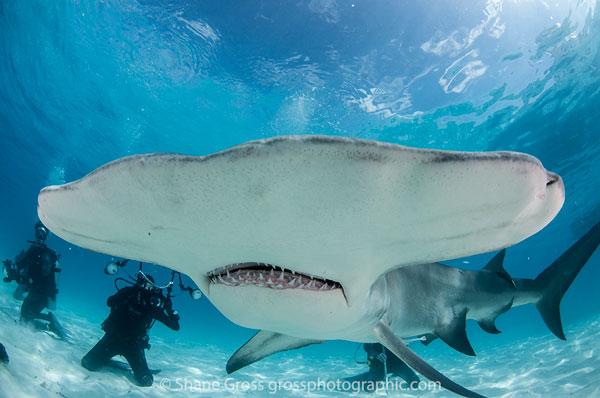 Bimini Hammerhead Shark