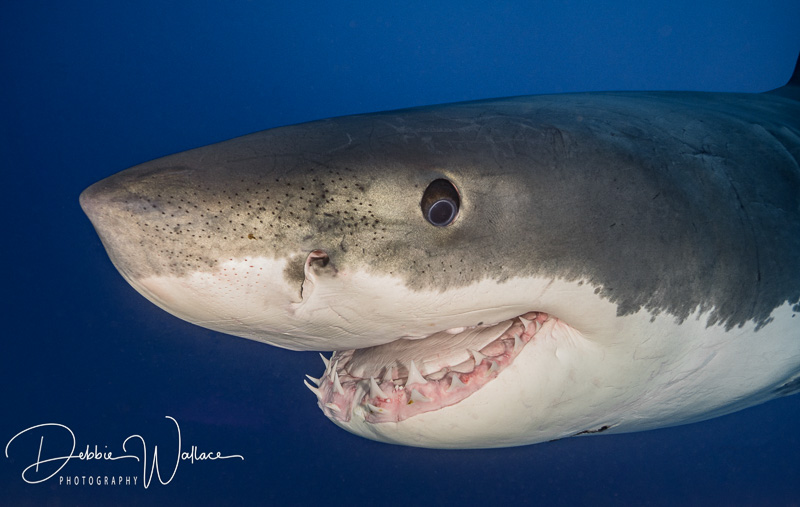 Guadalupe Great White Shark Close-up