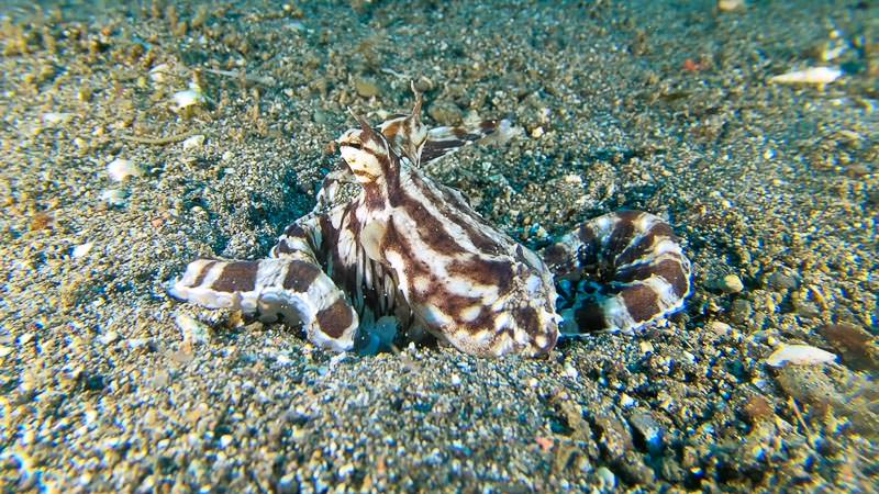Mimic octopus still frame taken from video footage from Anilao