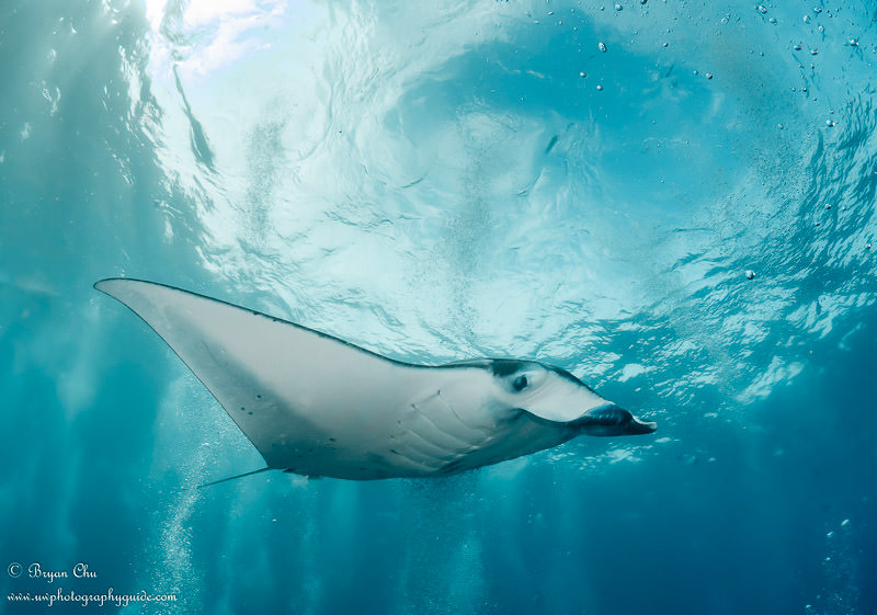 Manta ray swimming past at manta point, Nusa Penida