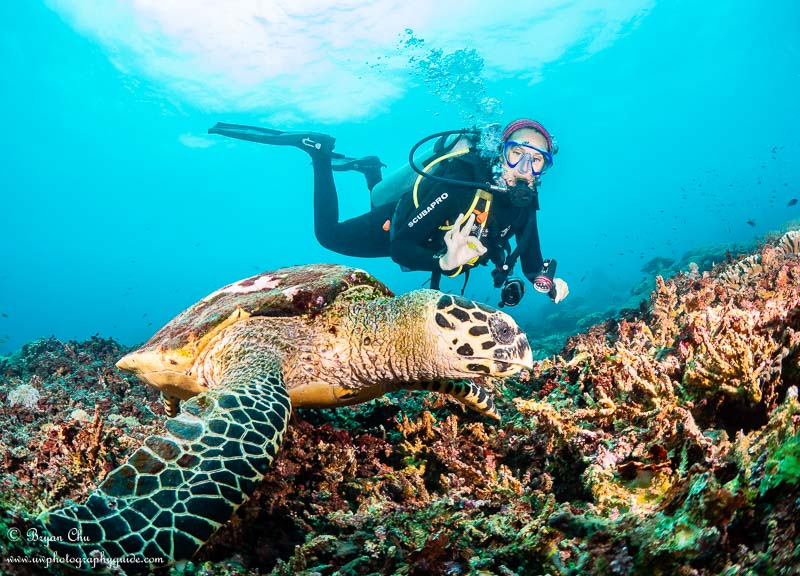 Hawksbill turtle with diver behind at Crystal Bay