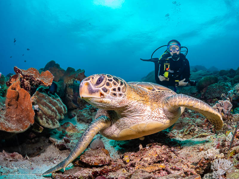 A huge green sea turtle sitting on the coral, with a diver behind.