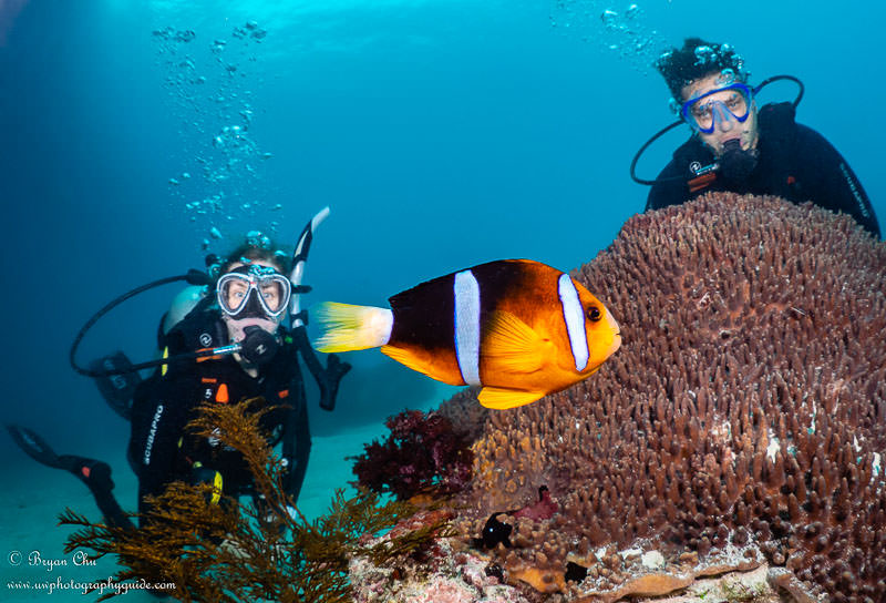 False clown anemonefish swimming in blue water in front of two dive models