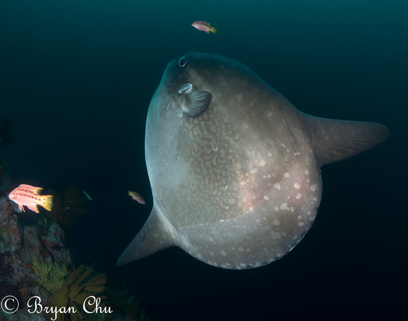 Mola mola or oceanic sunfish in the Galapagos