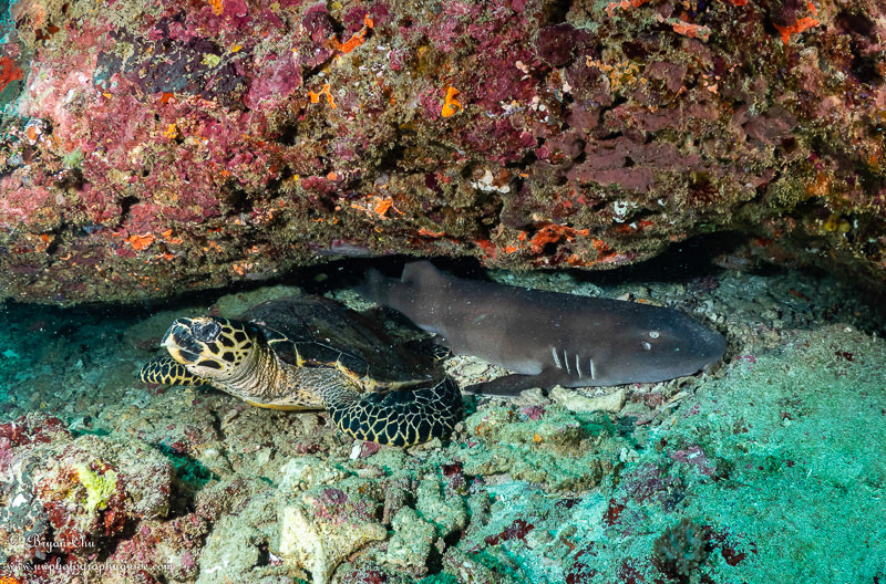 Bamboo shark and hawksbill turtle sharing a small underwater cave.