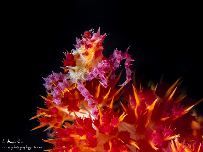 Soft coral candy crab on black background