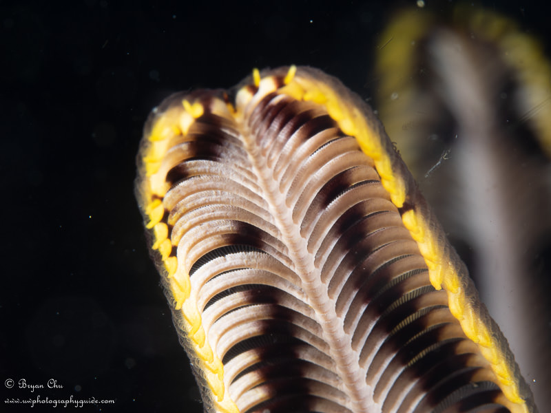 Shot of crinoid on black background