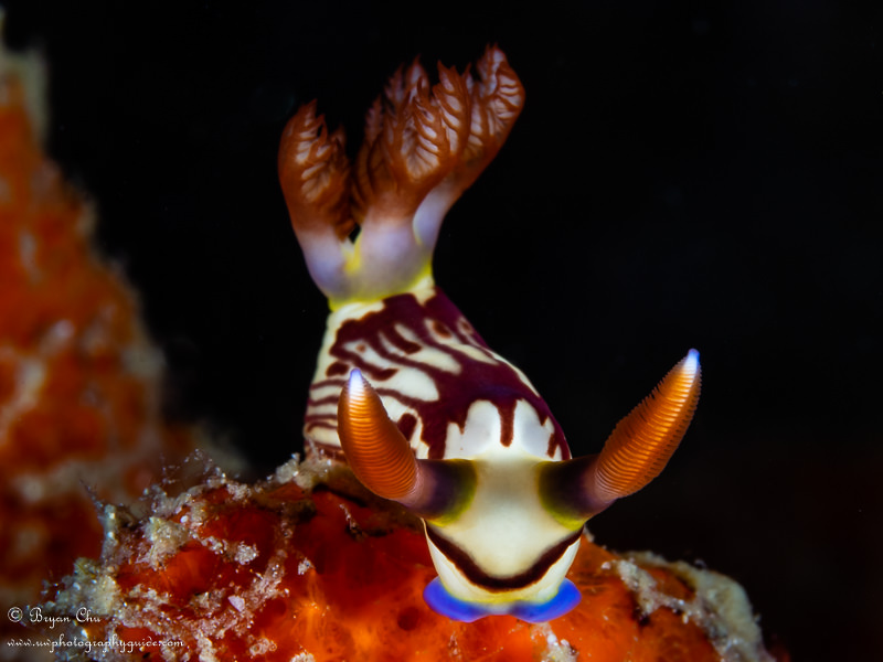 Nudibranch with black background