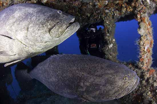 Florida Goliath Grouper