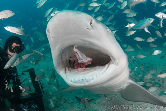 Lemon Shark in Florida
