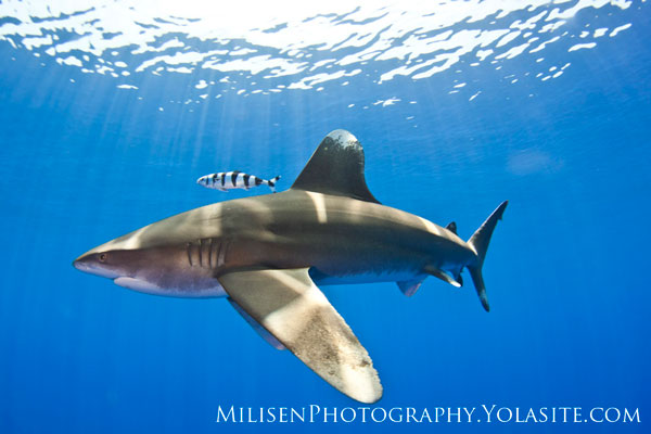 oceanic whitetip shark in hawaii
