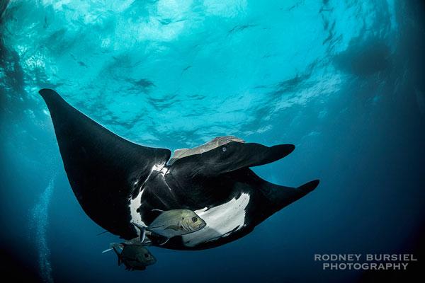 socorro manta ray