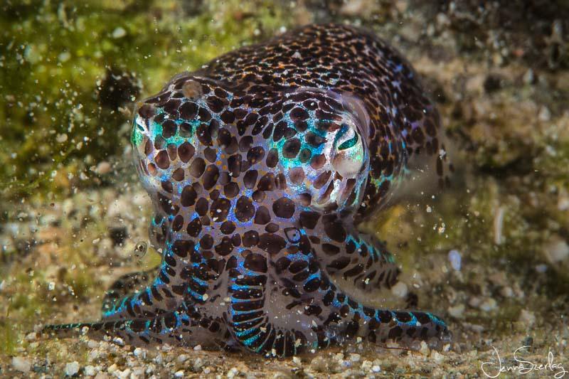 Bobtail Squid. Moalboal, Cebu, Philippines
