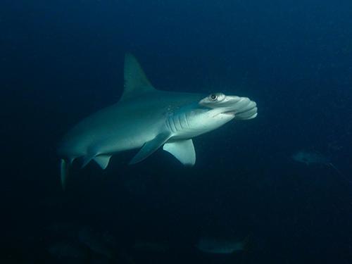 Malpelo shark
