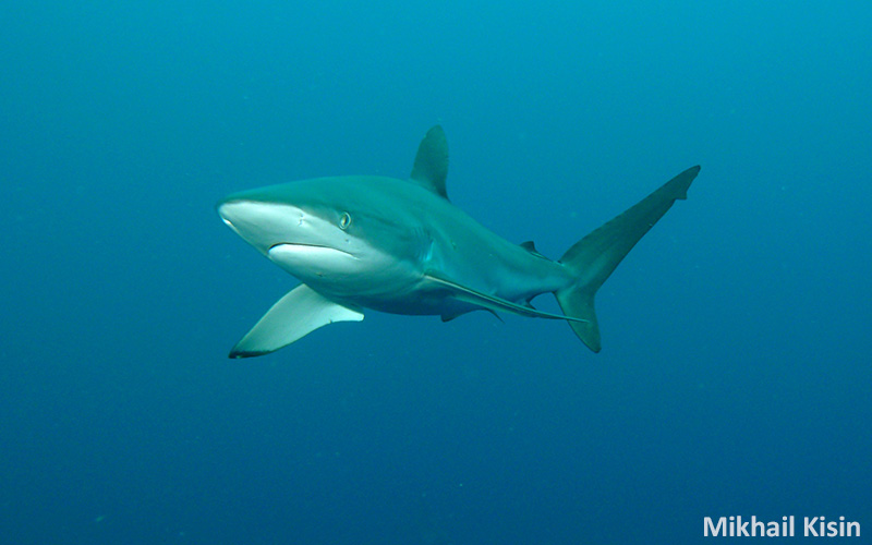 Silky Sharks Of Malpelo Islandunderwater Photography Guide