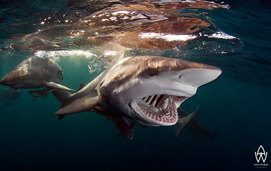 Shark photo in Aliwal Shoal South Africa