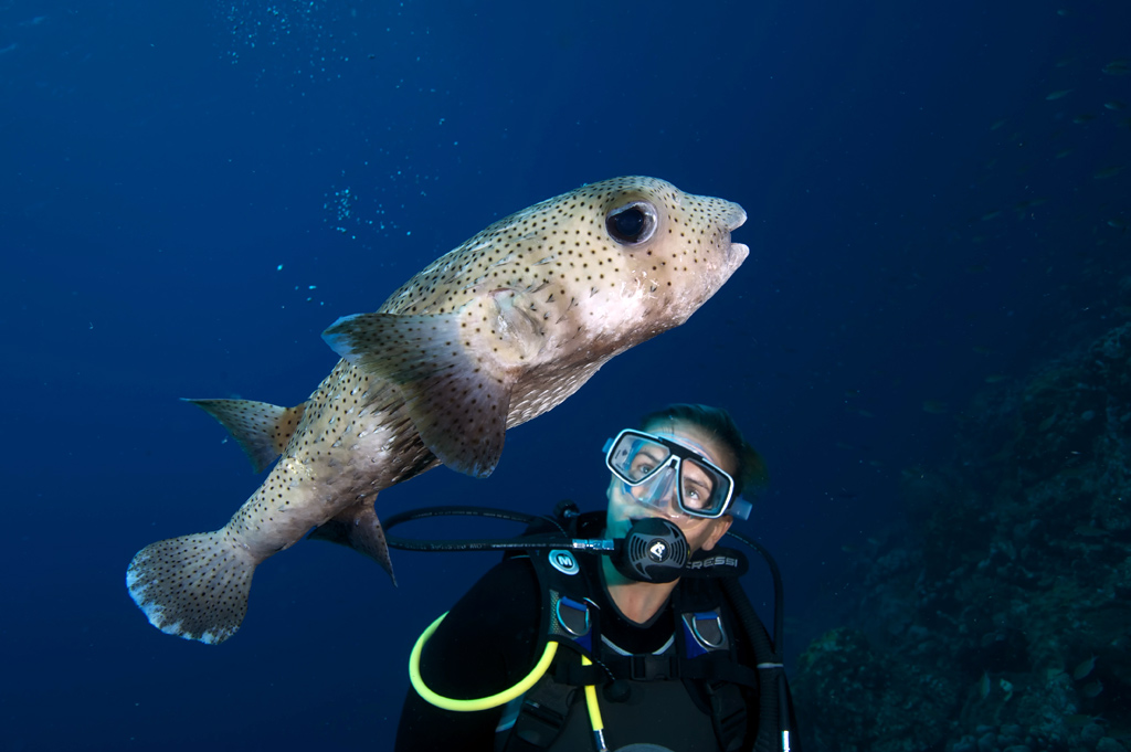 Diver and Large Porcupine Fish