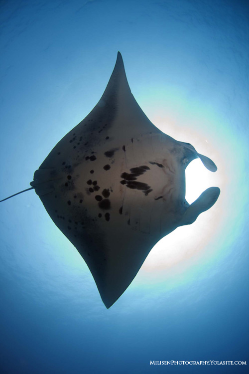 Diving With Devils Ultimate Guide To Manta Raysunderwater