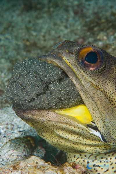 sea of cortez jawfish with eggs