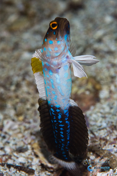 sea of cortez blue spotted jawfish