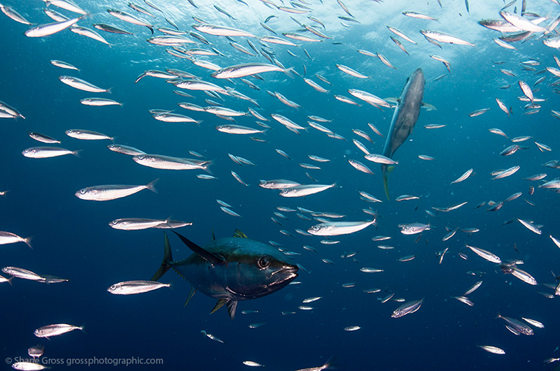 Capturing fast ocean action underwater photography guide for School of fish lure