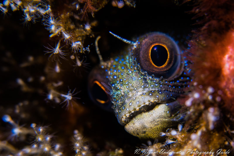 A tiny blenny stands out with detail that only a 61 megapixel camera could capture. Taken with the Sony A7R IV, Ikelite A7R IV housing, dual Ikelite DS 161 strobes, the Sony 90mm macro lens, and the Bluewater +7 diopter. 1/250, f/11, ISO 200