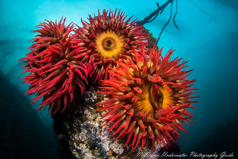 sony a7s iii underwater anemone photo